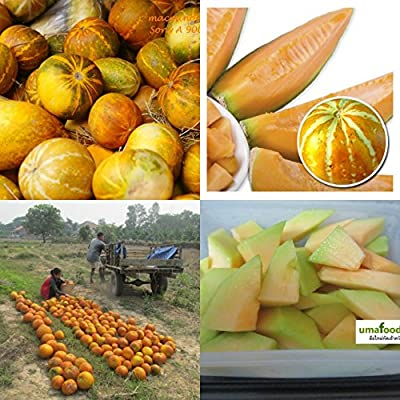 Organic (200 Seeds)Musk melon-cantaloupe-Persian melon-pepo-no GMO Fruit Seeds