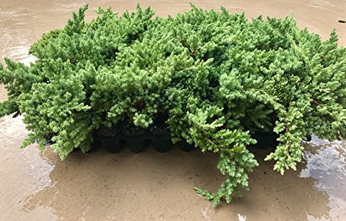 Juniper Procumbens Nana Qty 60 Live Plants Groundcover by Florida Foliage (Image #7)