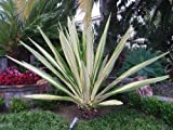 1 STARTER PLANT of Furcraea Gigantea 'Striata' False Variegated Agave