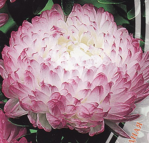 aster-flower-seeds-peony-anel-annual-from-ukraine