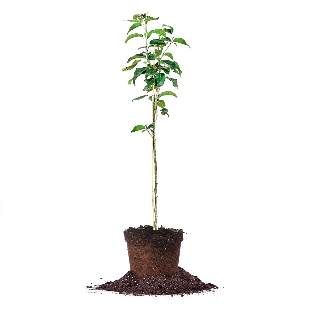 SHINSEIKI ASIAN PEAR TREE - Size: 5-6 ft, live plant, includes special blend fertilizer & planting guide