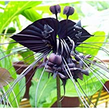 Black Tiger Orchid Flowers Seeds Rare Flower Orchid Seeds For Garden & Home Plants