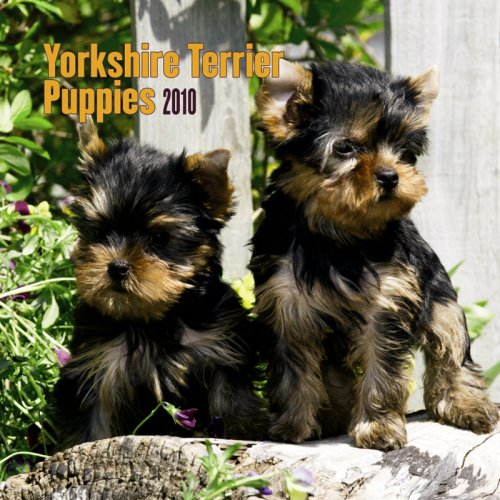Yorkshire Terrier Puppies 2010 Mini Wall Dog 2010 Mini Calendar