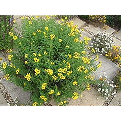 300 Mexican Tarragon Seeds, Mexican Mint, Herb, thrives it hot humid climate! : Garden & Outdoor