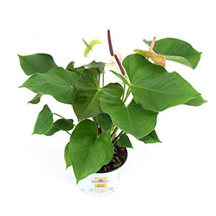 Burpee White Heart Anthurium Indirect High Light Easy Care House Plant