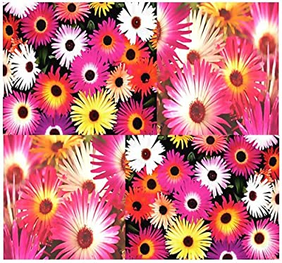 400 x LIVINGSTONE DAISY Flower Seed - Mesembryanthemum - Ice Plant Flower Seeds - VERY SHOWY Tropical ELECTRICFYING DAISY LIKE FLOWERS - By MySeeds.Co