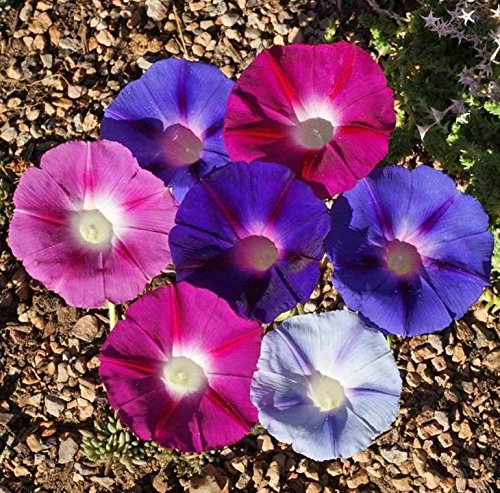 Morning Glory Tall Mix Wildflower Seeds for Pink White and Purple Vining Colors bin329 (200+ Seeds, or 1/4 Ounce)
