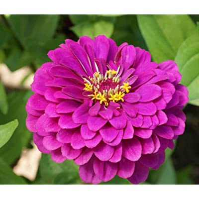 David's Garden Seeds Flower Zinnia Solid Color Purple Prince SL2343 (Purple) 500 Non-GMO, Open Pollinated Seeds : Garden & Outdoor