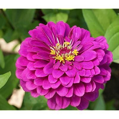 David's Garden Seeds Flower Zinnia Solid Color Purple Prince SL2343 (Purple) 500 Non-GMO, Open Pollinated Seeds : Garden & Outdoor