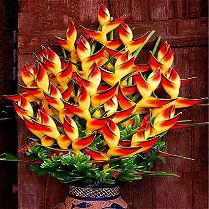 Amazoncom Portal Cool 100pcs Bonsai Hibiscus Japanese Maple