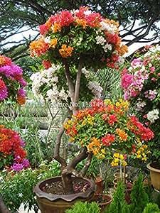 """La mezcla 100pcs-color 'Bougainvillea spectabilis Willd """"Semillas bonsai semillas de plantas de flores de flores plantadores maceta"""