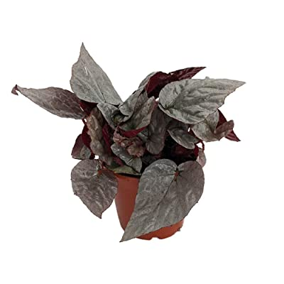 "AchmadAnam - 3"" Pot - Silver Limbo Rex Begonia Plant - Magic Color Series -Trending House Plant : Garden & Outdoor"