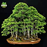 Cheap 20 juniper bonsai tree Seeds potted flowers office bonsai purify the air absorb harmful gases free shipping