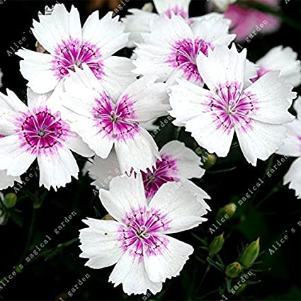 Amazon 200pcs pink dianthus seeds carnation seeds perennial 200pcs pink dianthus seeds carnation seeds perennial flowers potted plants white sweet william flower bonsai 11 mightylinksfo
