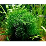 Java Moss - Easy Live Fresh Water Aquarium Plants by Aquarium Plants Discounts