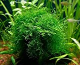 fish fry plant - Java Moss Portion in 4 Oz Cup - Easy Live Fresh Water Aquarium Plants