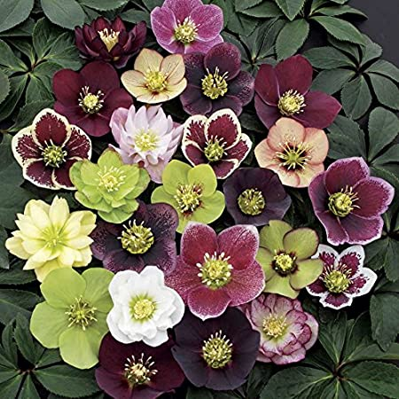 Amazon Com 3 Containers Of Mixed Lenten Rose Hellebore In 2 5