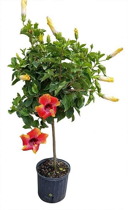 Amazoncom Plantvine Hibiscus Rosa Sinensis Fiesta Tropical