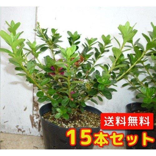 【ノーブランド品】クルメツツジ(赤)樹高0.3m前後13.5cmポット【15本セット】 B00W4VVWDM