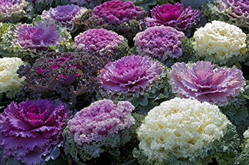 Seeds Edible Cabbage Ornamental Kale Decorative Large-Leaved Beatiful Flower Cut Organic Ukraine