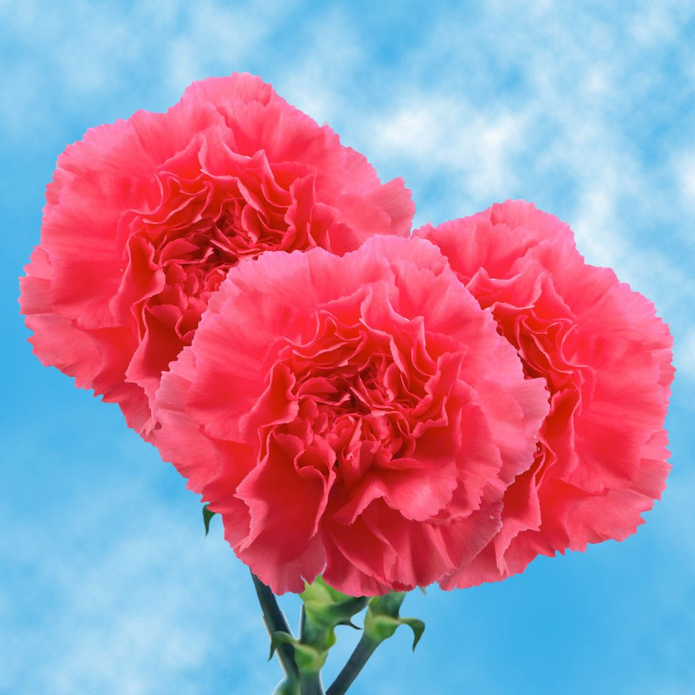 GlobalRose 200 Hot Pink Carnations - Fresh Flowers Wholesale Express Delivery by GlobalRose (Image #1)