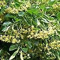 American Linden Tree Seeds (Tilia americana) 2+ Fresh Basswood Tree Seeds