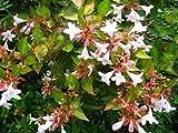 Glossy Abelia Aka Abelia Grandiflora Live Plant Shrubs Plant Fit 05 Gallon Pot
