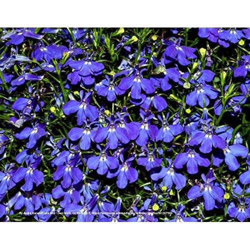 600 Lobelia Midnight Blue Seeds Lovely Web458server41