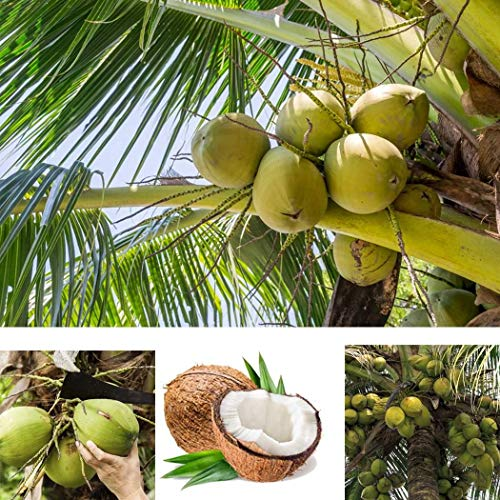 Qenci Seeds - 5pc Coconut Tree Seeds Perennial Plants Tropical Fruit Trees for Garden Courtyard Planting (Coconut Tree Seeds)