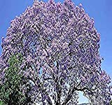 Paulownia fortunei Tree Seeds, aka Dragon Tree, Fortunes Empress Tree, Sapphire Tree, Phoenix Tree - By MySeeds.Co (Paul Fortunei x 1 Pack)