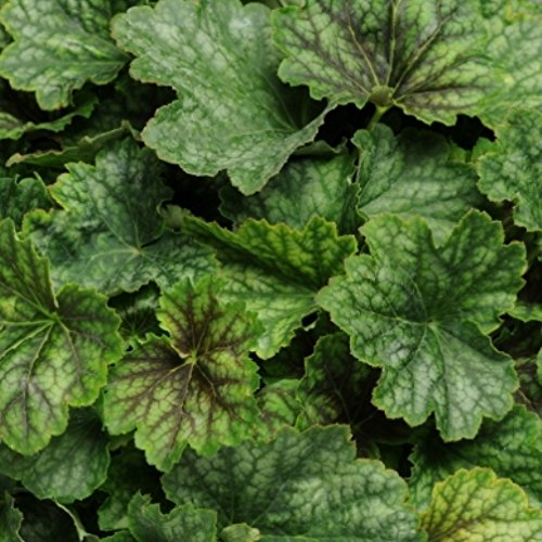Hazzard's Plants Coral Bells (Heuchera) villosa Carnival Cocoa Mint 36 Strip Tray