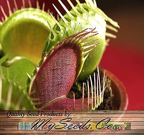 Mixed Colors VENUS FLYTRAP Dionaea Muscipula Carnivore Red Green Yellow 10 Seeds