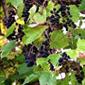 Wild Grape Vine Seeds (Vitis riparia) 10+ Michigan Wild Grape Seeds