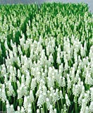 Muscari White Magic,'Grape Hyacinth, Spring-blooming Bulbs