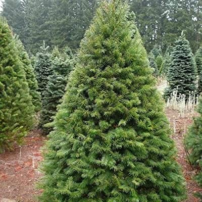 Douglas Fir Tree Seeds ( Pseudotsuga menziesii ) 20+Seeds