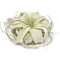 Plants for Pets 1 Tillandsia Xerographica Air Plant | Live Tropical Houseplant Decor for Terrarium Holder/Wedding Favors | Large Exotic Airplant