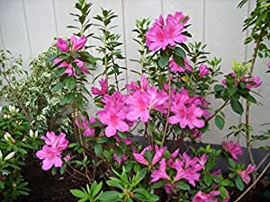 "Magenta Sun Azalea aka Azalea s ind 'Formosa' PATIO TREE Live Plants Fit 5 Gallon Pot - 18""x18"" head"