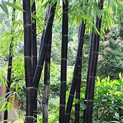 (Phyllostachys Nigra Black Bamboo - 2 Starter Plant Home Garden)