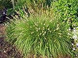 Dwarf Fountain Grass (Pennisetum alopecuroides 'Hameln')
