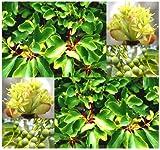 Sassafras, Sassafras albidum, Seeds - Showy Fragrant Flowers - Hardy Zones 4-9 - By MySeeds.Co (Sassafras  x 5 Packs)