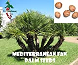 50 Mediterranean Fan Palm seeds, ( Chamaerops humilis ) from Hand Picked Nursery