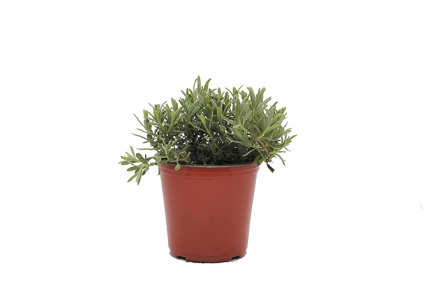 Lavender 'Munstead' Herb Plant (Pack of 6) by Dutch Country Classics (Image #1)