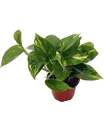 Vine Plants | Amazon.com on design red, pots red, flowers red, cactus red, nature red, peppers red, ornamental grasses red, mums red, berries red, orchids red, animals red,