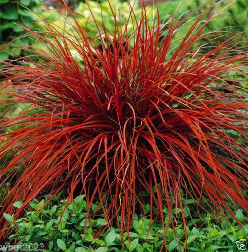 Uncinia Rubra Firedance (10 Seed) AKA New Zealand Red Hook Sedge - Ornamental -