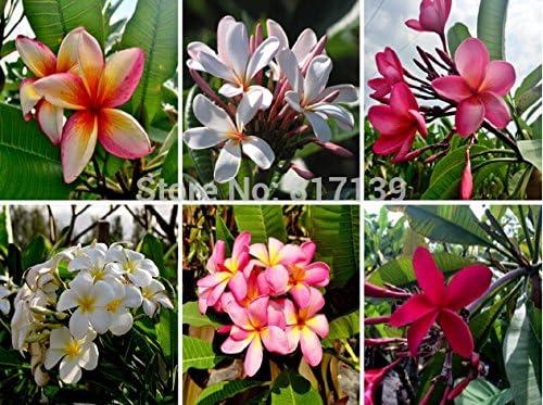 Nuevo hogar jardín de plantas 3 Semillas Mezclar-color real fresca Plumeria Rubra Frangipani Lilavadee semillas del árbol de la flor: Amazon.es: Jardín