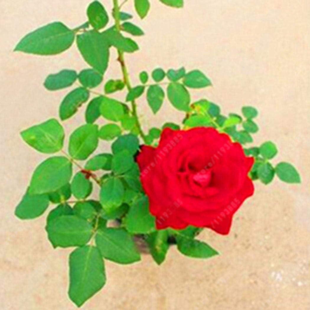 Kemanner Mehrj/ährige Bonsai Mini Rose Samen Bonsai Pflanzensamen Blumensamen