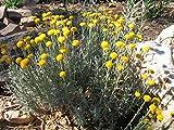 Lavender Cotton Aka Santolina Chamaecyparissus Live Plant Fit 1 Gallon Pot