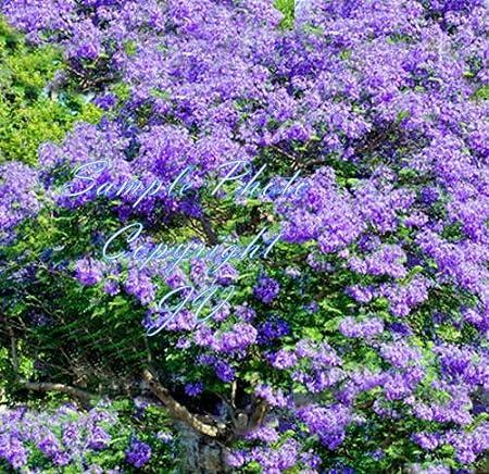 Amazon Com Jacaranda Mimosifolia Tree Seeds Purple Flower