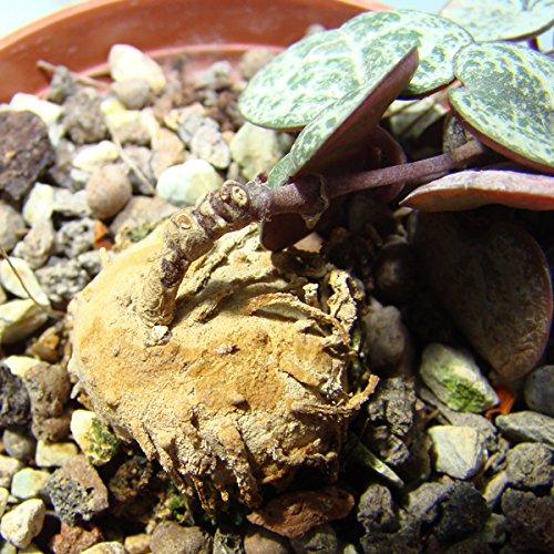 Ceropegia woodii (Rosary Vine, String of Hearts) - 1 cm Bulb CactusPlaza.com