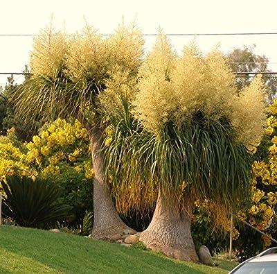 Beaucarnea Recurvata, Rare Elephant Foot Ponytail Palm Caudex Bonsai - 20 Seeds
